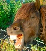 horse teeth wikepedia